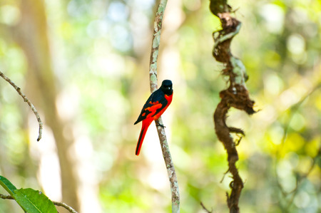 Male minivet with green background