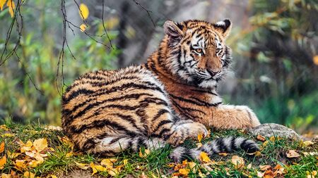 Tiger sitting in along in forest. Banque d'images - 137662099