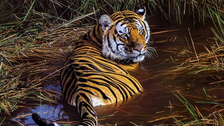 Bengal tiger sitting in water Banque d'images - 137662100
