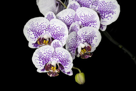spotted flower: Spotted halaenopsis flowers on a black background Stock Photo