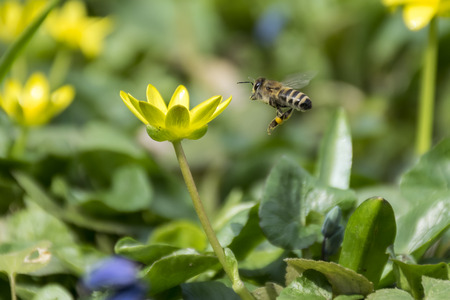pollinator: Bee flying to a flower