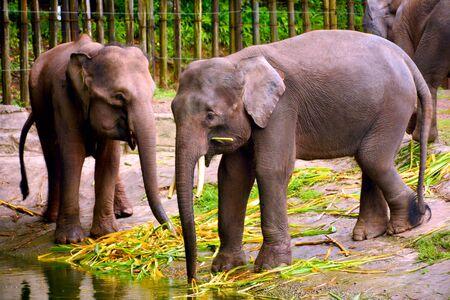 Borneo elephant, also called the Borneo pygmy elephant at Lok Kawi wildlife park