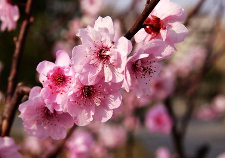 flor de sakura: flor rosa sakura en primavera Foto de archivo