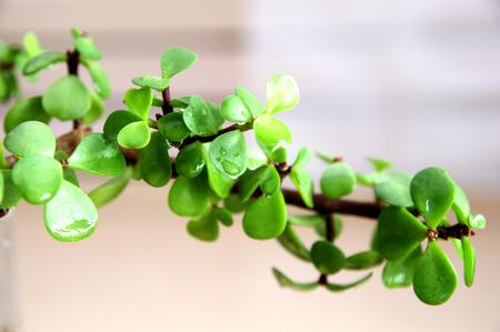 jade plant: branch of Portulacaria afra  Dwarf jade plant  Stock Photo