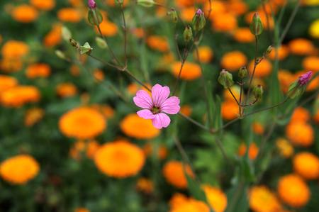 oxalis: little flowers of oxalis rubra
