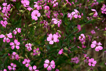 little flowers of oxalis rubra photo