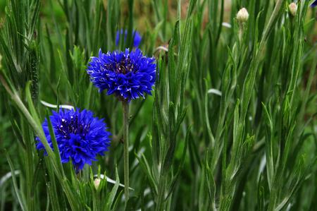 bachelor s button: Blue cornflower