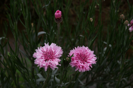 bachelor s button: Pink cornflowers Stock Photo