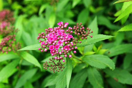 pink Spirea in a garden  photo