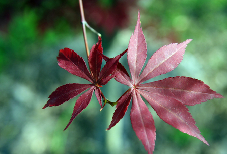 acer palmatum leafs ,clseup Stock Photo - 29137359