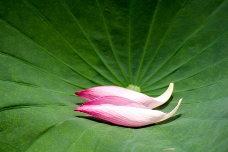 exclude: lotus petal on the lotus leaf