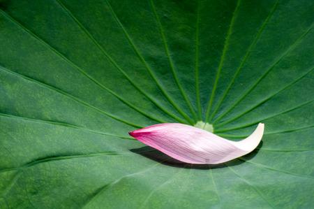 lotus petal on the lotus leaf photo