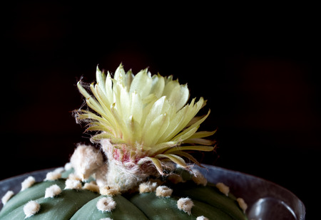 villus: a yellow flower of Astrophytum asteria Stock Photo