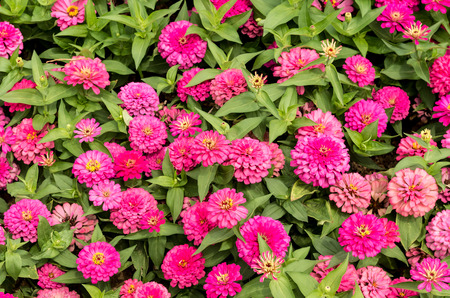 pink flowers,zinnia photo