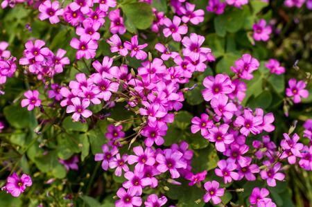 oxalis: little flowers of oxalis