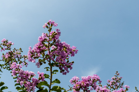 crape myrtle with Blue Sky Background photo