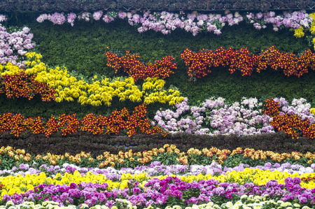 a hedge made of colorful chrysanthemums photo