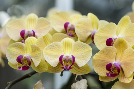phalaenopsis: Yellow Phalaenopsis Stock Photo