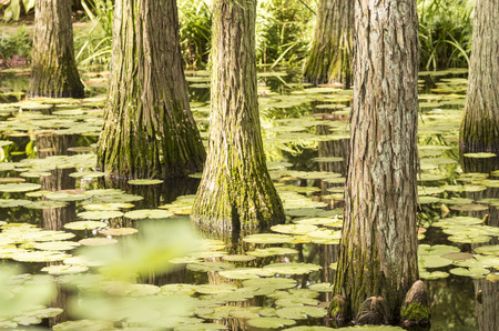metasequoia: Metasequoia glyptostroboides in the lake