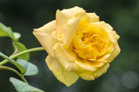 chinensis: Rosa chinensis in yellow Stock Photo