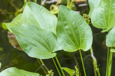 water banyan leaves