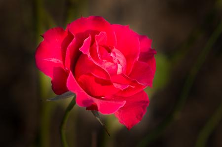 china rose: red China Rose