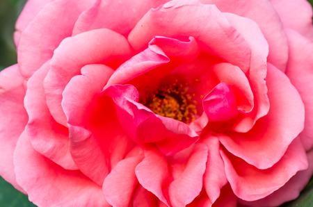 china rose: pink China Rose