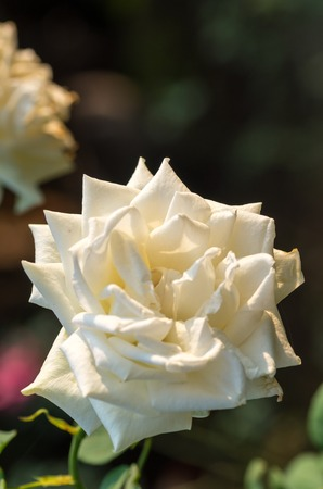 china rose: White China Rose Stock Photo