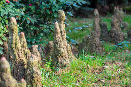 aerial roots: Aerial roots of Taxodium