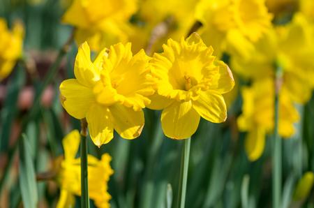 yellow: yellow Daffodil