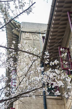 wuhan: Sakura of Wuhan University