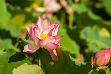 Lotus under the sunshine
