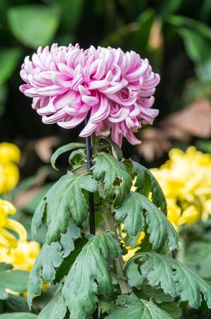 Variétés de jardinage de chrysanthème