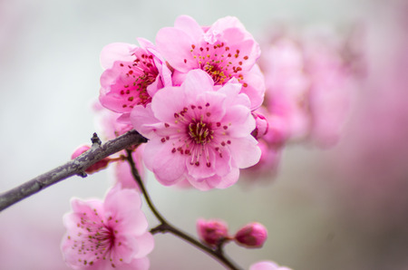 Prunus blireana Meiren 写真素材