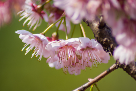 chinese cherry blossoms stock photo picture and royalty free image