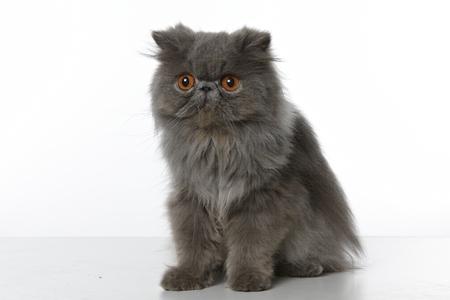 grey eyed: blue persian cat sitting on white background Stock Photo