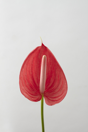 spadix: red spadix flower Stock Photo