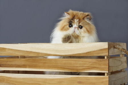 grey eyed: calico persian cat standing behind wooden box Stock Photo