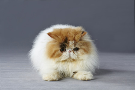 crouch: calico persian cat sitting on grey background