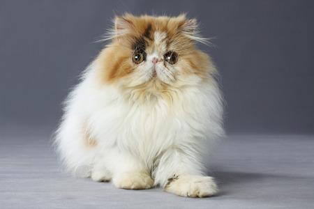 grey eyed: calico persian cat sitting on grey background