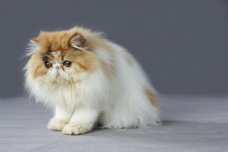 grey eyed: calico persian cat sitting on grey background