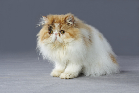 grey cat: calico persian cat sitting on grey background