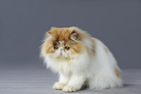 calico: calico persian cat sitting on grey background
