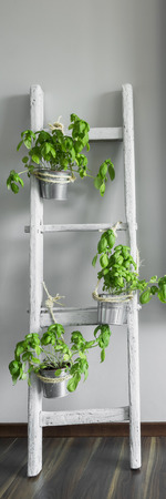 renewed: Vertical panorama of basil in pots on renewed wooden ladder