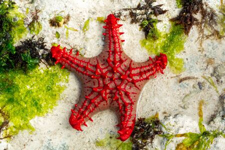 African red knob sea star in Indian Ocean near Zaznibar island