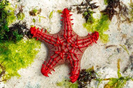 Estrella de mar de mando rojo africano en el Océano Índico cerca de la isla de Zazníbar