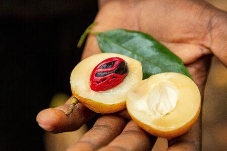 Fresh, open nutmeg fruit with red aril on black seed from Zanzibar island