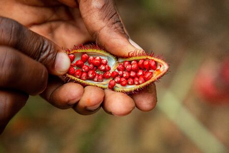 Close-up on a man hand holding open achiote fruit with small red seeds