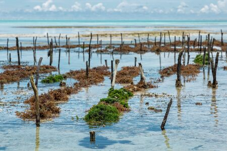Green and brown algaes on field in Indian Ocean, during low tide near Zanzibar