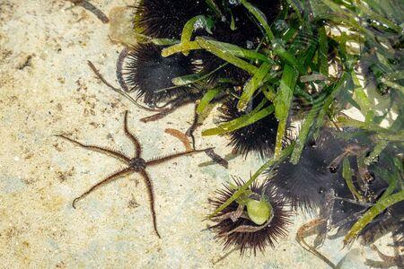Small starfish and black, sea urchin colony under green seaweed